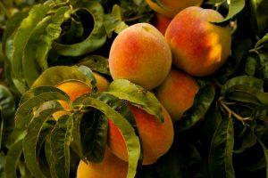 Fruit Pruner