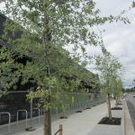 New trees planted along sidewalk